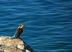 , a.k.a. kingfisher (ssj_george) Tags: leica blue sea fish bird nature colors rock closeup port lumix harbor wings colorful king waves birding beak cyprus panasonic fisher hunter birdwatching larnaca fisherking larnaka   georgestavrinos  fz38 fz35 ssjgeorge