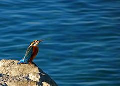 , a.k.a. kingfisher (ssj_george) Tags: leica blue sea fish bird nature colors rock closeup port lumix harbor wings colorful king waves birding beak cyprus panasonic fisher hunter birdwatching larnaca fisherking larnaka   georgestavrinos  fz38 fz35 ssjgeorge