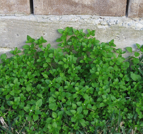 chickweed1
