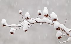 Snow Laden (Jason (Audrey's Dad)) Tags: winter snow tree oregon december laden snowing shrub 2009 hillsboro accumulation