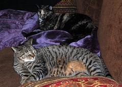 Rem -N- Furze Lazing (Verijaa) Tags: cats pets animals kitties