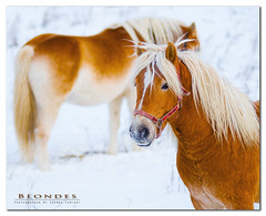 Natural blondes (Pierre Contant) Tags: winter horse canada animal photoshop cheval nikon quebec pierre blondes hiver nikkor fabre 80200 loh abitibi d300 cs4 temiscaming quebc contant 80200f28 omot abitibitmistamingue tmistamingue pierrecontant saintdouarddefabre