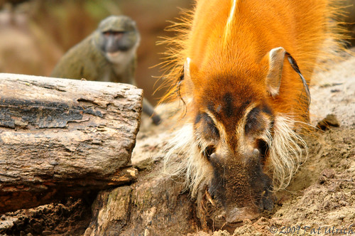 Red River Hog with Swamp Monkey