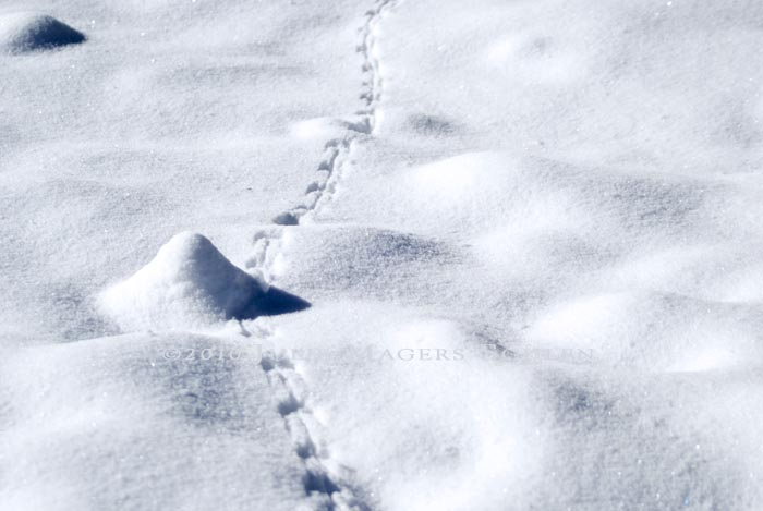 Tiny tracks of a forest mouse venture out to explore on a sunny winter day.
