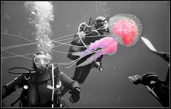 Pink Pelagia (PhilR66) Tags: pink blackandwhite rose jellyfish nb 2009 plonge abyss noirblanc effet mduse giens plagie abyssplonge sortiemer pelagianocticula