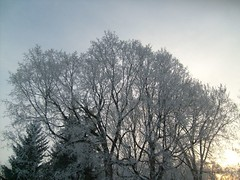 Trees covered in hoar frost after a cold, foggy night in Northfield, Minnesota.