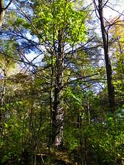 Autumn in Swallow Cliff Woods (Cook County Forest Preserve), Palos Park, IL  (36) (martiger) Tags: park county autumn cliff forest woods kodak cook swallow preserve palos z980