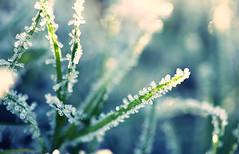 Grass & Frost (Morphicx) Tags: blue winter blur green grass frost bokeh 100mm 5d ilovebokeh bokehwhores bokehwhore