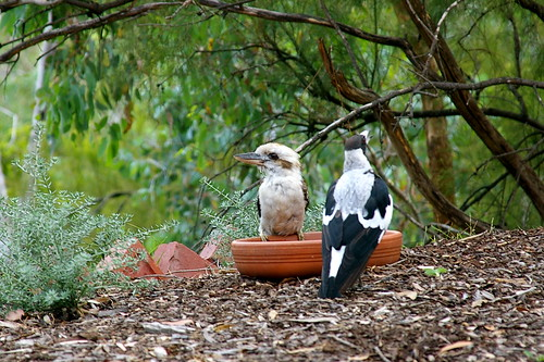 magpie and kookaburra at the bird bath
