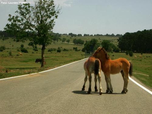 Caballos sueltos en la carretera del P.N.Urbasa-Andía