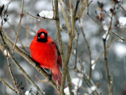 cardinal snowstorm 2