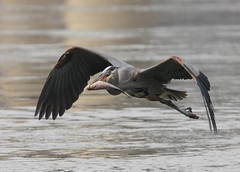 Make that to go! (AllHarts) Tags: nature exposition greatblueheron naturesfinest faunaandflora flyingfeathers kentuckydam fantasticnature natureplus flickrdiamond keepyoureyesopen birdsphotos finestnature freenature shutterbox awesomebirds naturesspirit goldstaraward photossansfrontires birdsinsideandoutside qualitycounts pogchallengewinnershalloffame naturesbeautifulphotography naturespotofgold{competitivegroup} naturesprime burdr naturescarousel thewonderfulworldofnature pog~~denwinnersgallery specialistnaturewildlifephotographers gatheringofeaglesweekend pog~~03gallerybirdden lovelyuniverse naturallywonderful natureliveadevotiontonature stunninganimalsandbirds theaquaticworld rainbowelite eblouissantenaturebrilliantnature birdsbirdsbirdsbirdsyougetthepoint