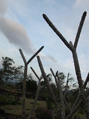 IMG_0342 (Brandon Namasivayam) Tags: tree garden estate srilanka araliya
