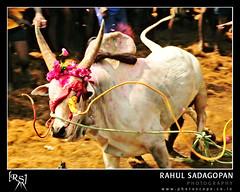 The blindfolded run (Rahul Sadagopan) Tags: animal sport festival nikon culture bull 1870mmf3545g local tradition bullfight madurai tamil tamilnadu southindia d300 jallikattu dsc1018 palamedu ruralsport rauhlsadagopan