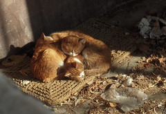Felis Catus Trio (sovica_xxx) Tags: family sleeping cats love sunshine yellow cat warm tabby tiger serbia january sunny trio belgrade curledup doormat streetcat sovica catmoments