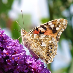 Time for some colors of summer, time for another painted lady (Cajaflez) Tags: summer colors butterfly ngc zomer vlinder paintedlady kleur vlinderstruik naturesfinest bej budleiah vosplusbellesphotos saariysqualitypictures rememberthatmomentlevel1 rememberthatmomentlevel2 rememberthatmomentlevel3