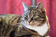 242/365  -  Kitty Closeup (Kasrielle) Tags: family cats green home cat feline kitty kitties staring furkids
