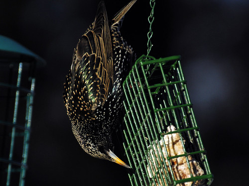 starling eating suet 2