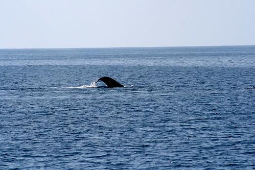 humpback whale flipper