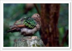 Emerald Dove -9300 (Barbara J H) Tags: bird nature zoo dove wildlife australia qld sunshinecoast australiazoo australianbirds australianwildlife beerwah australiannativebird birdsofaustralia emeralddove chalcophapsindica australianfauna wildlifeofaustralia colourfulbirds captivebird barbarajh