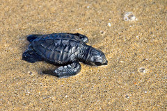 Sea Turtle vs Land