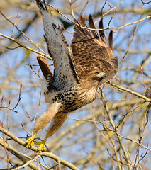 Power Move (Wes Aslin) Tags: canada raptor predator langley redtailedhawk buteojamaicensis tc14eii nikkor300mmf4afs