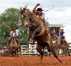 A baia matreira (Eduardo Amorim) Tags: brazil horses horse southamerica brasil caballo cheval caballos cavalos pferde cavalli cavallo cavalo gauchos pferd riograndedosul pampa hest hevonen campanha brsil chevaux gaucho  amricadosul bag fronteira hst gacho  amriquedusud  gachos  sudamrica suramrica amricadelsur  sdamerika jineteada gauchismo   americadelsud gineteada  americameridionale eduardoamorim travelsofhomerodyssey iayayam yamaiay crioulismo
