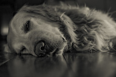 it's late (Fotis ...) Tags: dog goldenretriever notmycamera mydog thelittledoglaughed flickrchallengewinner lateandstillshooting