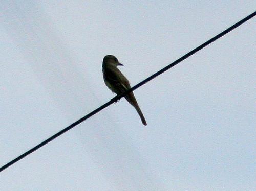 La Sagra's Flycatcher 2-20100209