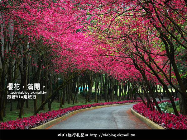 【九族櫻花季】櫻花滿開!最浪漫的九族文化村櫻花季37
