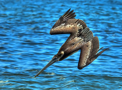 Pelican Stealth Dive...South Florida (ozoni11) Tags: bird pelicans nature birds animal animals interestingness nikon florida 26 pelican explore interestingness26 tonemapping tonemap i500 michaeloberman explore26 ozoni11