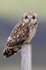 Asio Flammeus (Mbonfanti1) Tags: bfgreatesthits thewonderfulworldofbirds