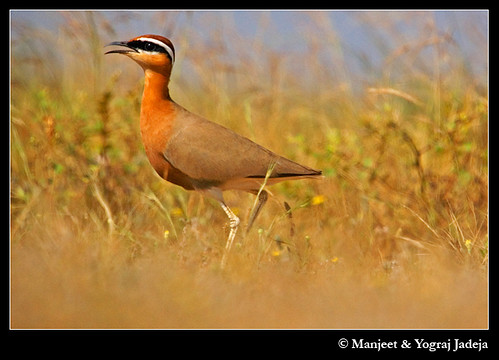 Indian courser low angle