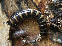 Click Beetle larva (Stenagostus rhombeus) Donkey Lane Sapcote SP 4858 9298 (taken 17.07.2009) (Graham's Nature Pics) Tags: beetle click larva rhombeus stenagostus