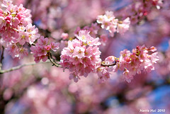 Pink on Pink - Cherry Blossoms 6102e (Harris Hui (in search of light)) Tags: park pink flowers canada blur color macro closeup vancouver dof bc bokeh richmond urbannature sakura fujifilm cherryblossoms upclose amateur depth springflowers oakridge hanami macrolens beautifulflowers vancouver2010 flowerviewing flowerscloseup colorpink pinkonpink localpark fujis3pro hanamiparty 2010winterolympic nikon105mm