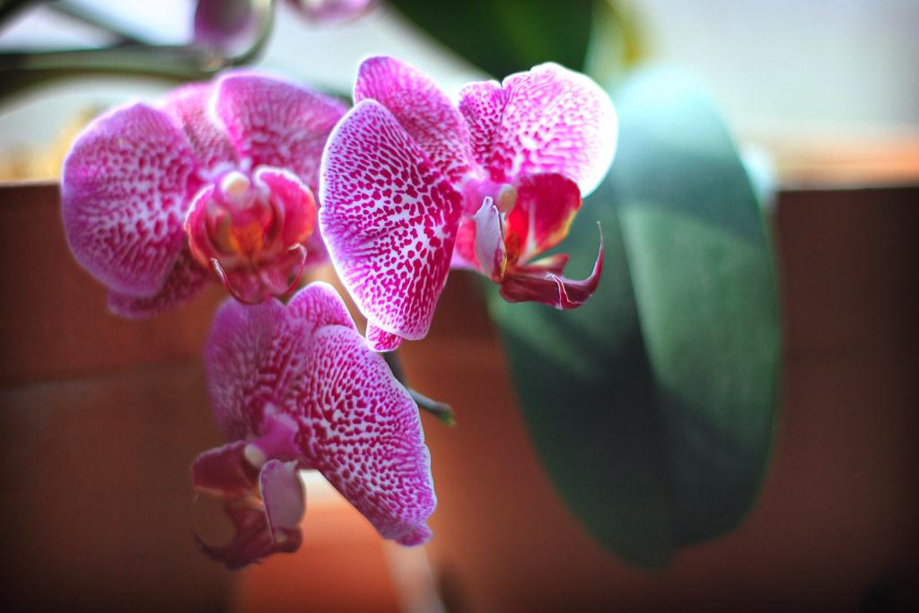 orchids 075x