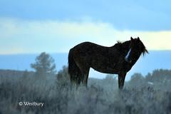 stallion (desperate horsewife) Tags: mustang wildhorses stallion