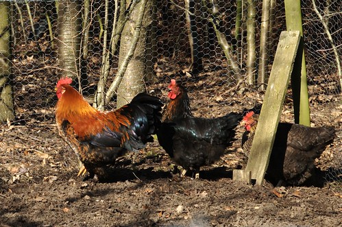 Dhr Haan en zijn dames - Mr Rooster and the ladies