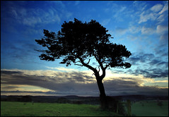 A Tree in Somerset (angus clyne) Tags: christmas trees england cloud holiday tree field pine sunrise fence one gate branch wind farm hill farming boxingday somerset pines needle single windswept only lone daw scots flikcr branck merriott