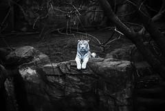 White Tiger (BHagen) Tags: blackandwhite bw zoo blackwhite dallas nikon tiger jungle ftworth fortworth whitetiger ftworthzoo wildanimals dallastx d80