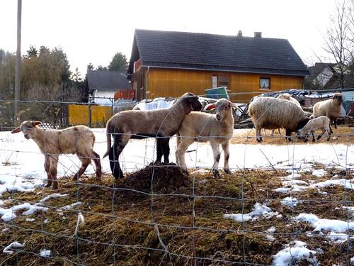 Lambs up close