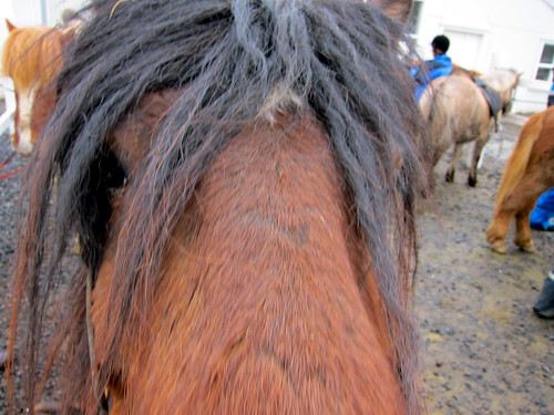 My horse on the Laxnes horse riding tour
