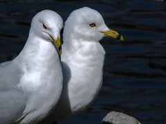 Him&Her (iloverealestate) Tags: seagulls