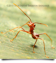I'm Ready!! (AnNamir™ c[_]) Tags: macro nature canon 50mm ant chilling filter outing semut 500d wow1 wow2 wow3 wow4 kerengga wow5 macrofilter annamir klno