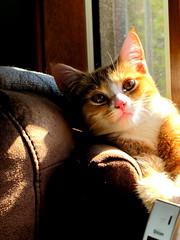 in the sun (damselfly58) Tags: furry kitten feline funny gatos buff gatti gingerandwhite