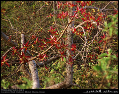 Red-Leaved Fig Tree in Wadi Shaboon, Dhofar (Shanfari.net) Tags: winter summer plant nature fruit lumix raw natural fig panasonic ficus oman wadi fz  rosales zufar rw2 salalah sultanate dhofar shabon moraceae  khareef   mirbat  ingens   lutea redleaved      governate shaboon ficuslutea   dofar fz38 ficeae marbat  fz35 dmcfz35  rooiblaarvy mohlatsa motlhatsa tshikululu umthombe umgonswane ficusingens