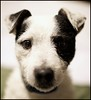 Thomas (Bettina Woolbright) Tags: dog 35mm canon jack russell bokeh canine terrier jackrussell bettina 35l woolbright bettinawoolbright bettinawoolbrightphotography