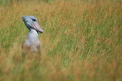Shoebill / Balaeniceps rex (Sergi Aris) Tags: uganda lakevictoria shoebill wildlifeafrica birdsafrica picozapato birdingafrica