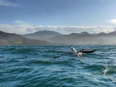Sea gull , Gouraya ...Algeria (albatros11 (Samir Bzk)) Tags: sea naturaleza bird nature algeria seagull gull natureza natur natuur mwe gaviota meeuw algrie gabbiano gaivota goland    gouraya