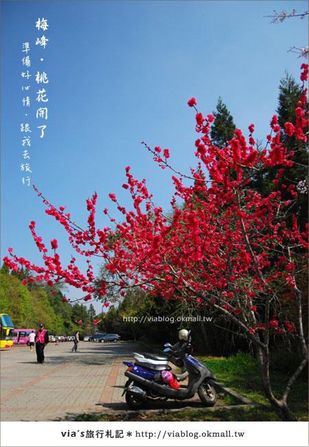 【梅峰農場桃花緣】最美的桃花隧道,就在南投梅峰這裡~(上)11